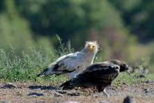The breeding performance of the Egyptian Vulture population in Bulgaria is among the highest in Europe