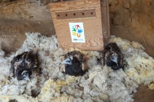 Installing the fledglings into the hack (photo: I. Klisurov / Green Balkans)