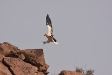 EV observed while scanning cliffs to encounter nests. Standing/Landing at the top of a cliff where we suppose it is nesting.© SCF